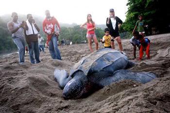 Sköldpadda Tobago